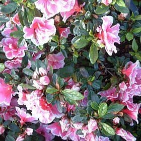 Azalea 'Janet Rhea' - Find Azleas,Camellias,Hydrangea and Rhododendrons at Loder Plants